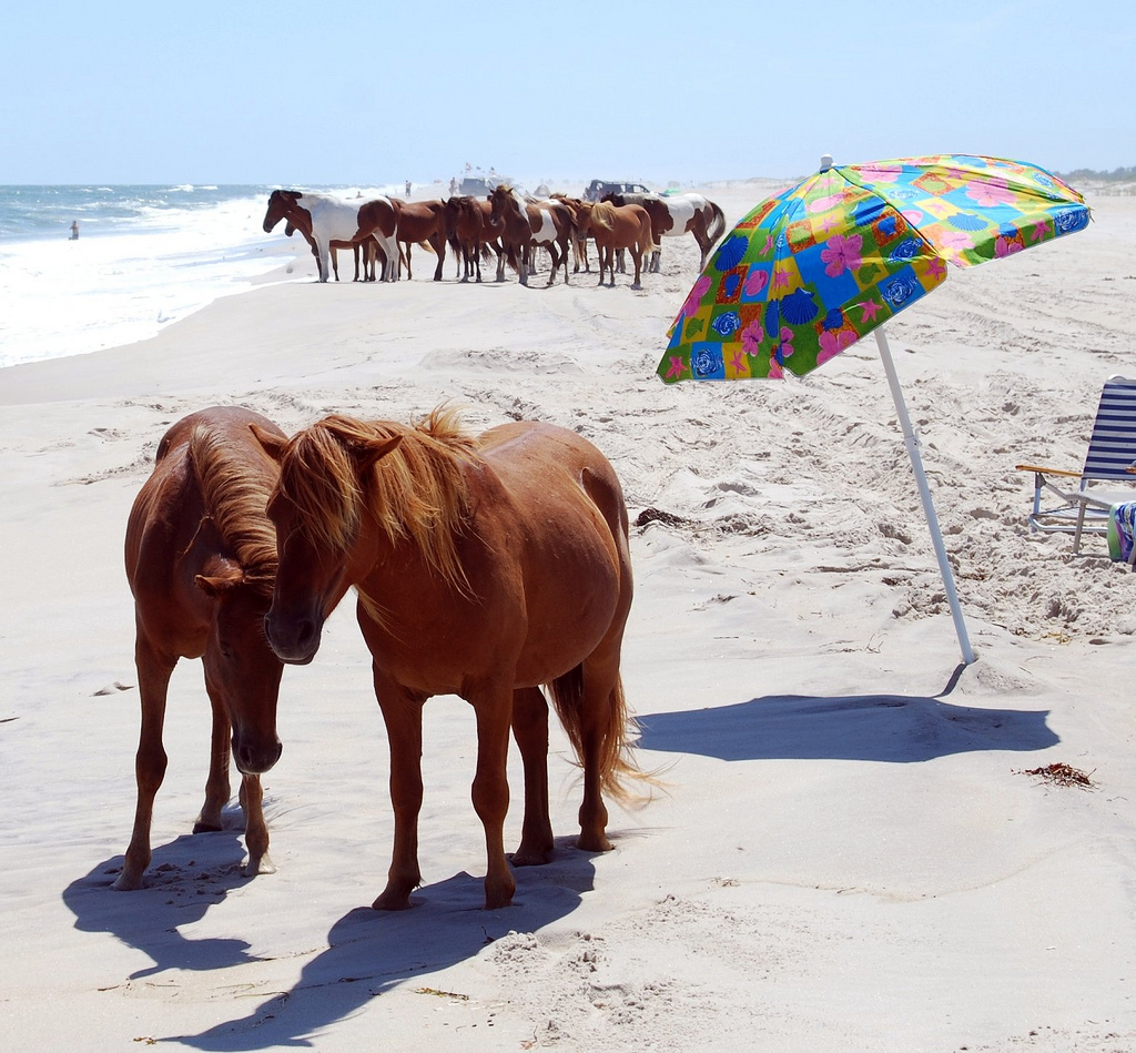 Assateague horses on the beach