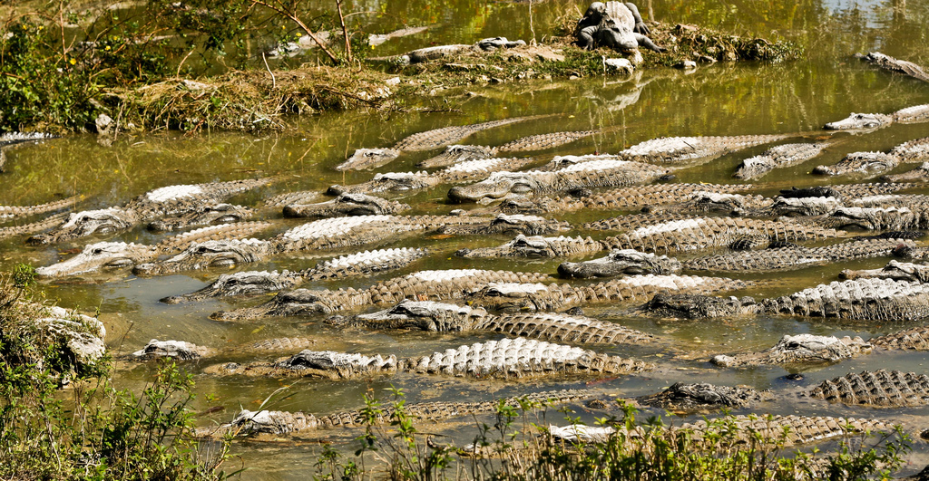 Everglades river teaming with gators