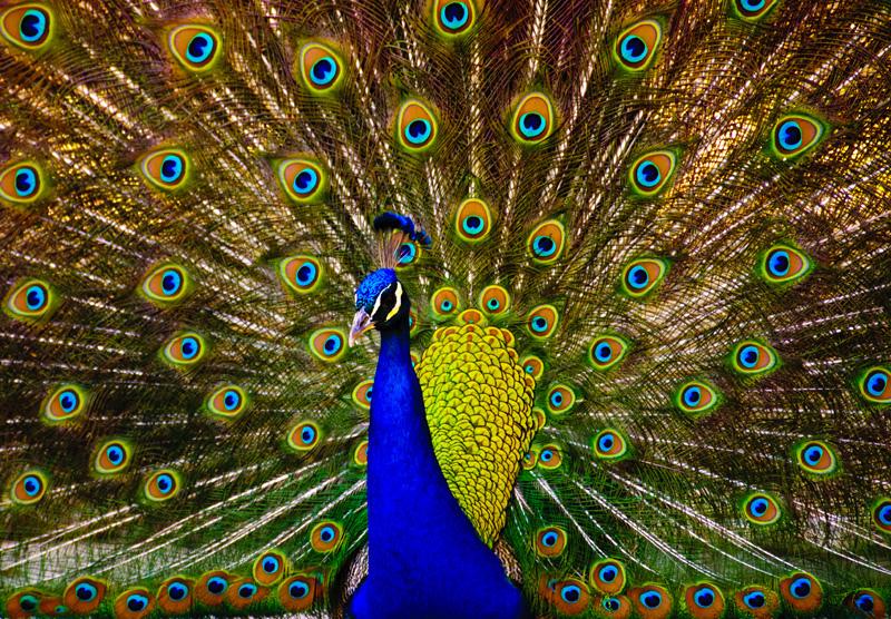 Los Angeles Arboretum peacock