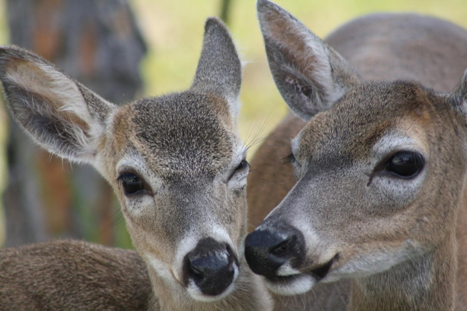 Big Pine Key deer