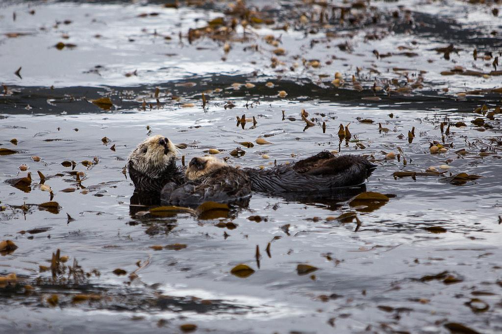 Point Lobos otter