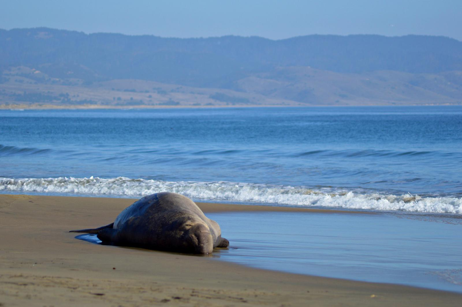 point reyes elephant seal