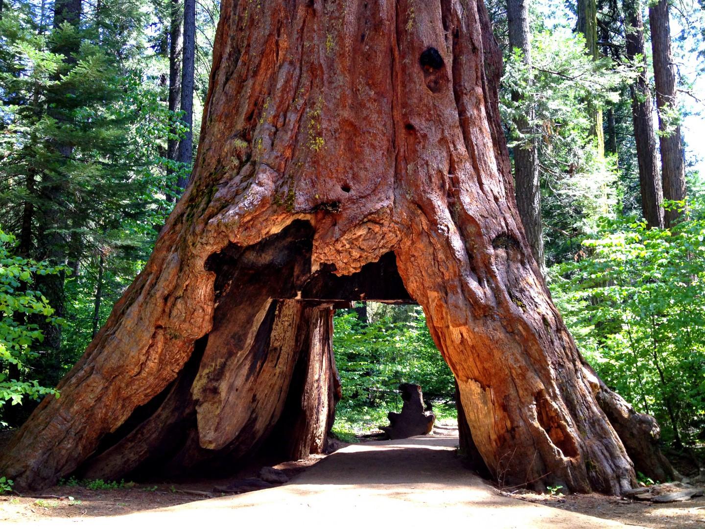 calaveras sequoia trees