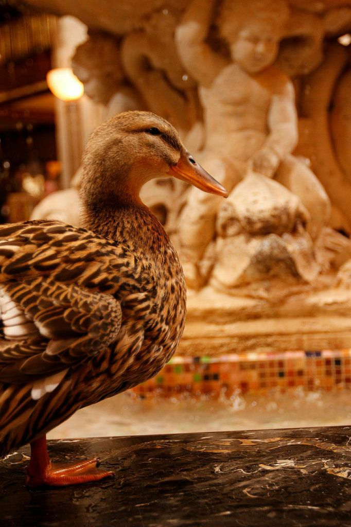 Ducks at The Peabody