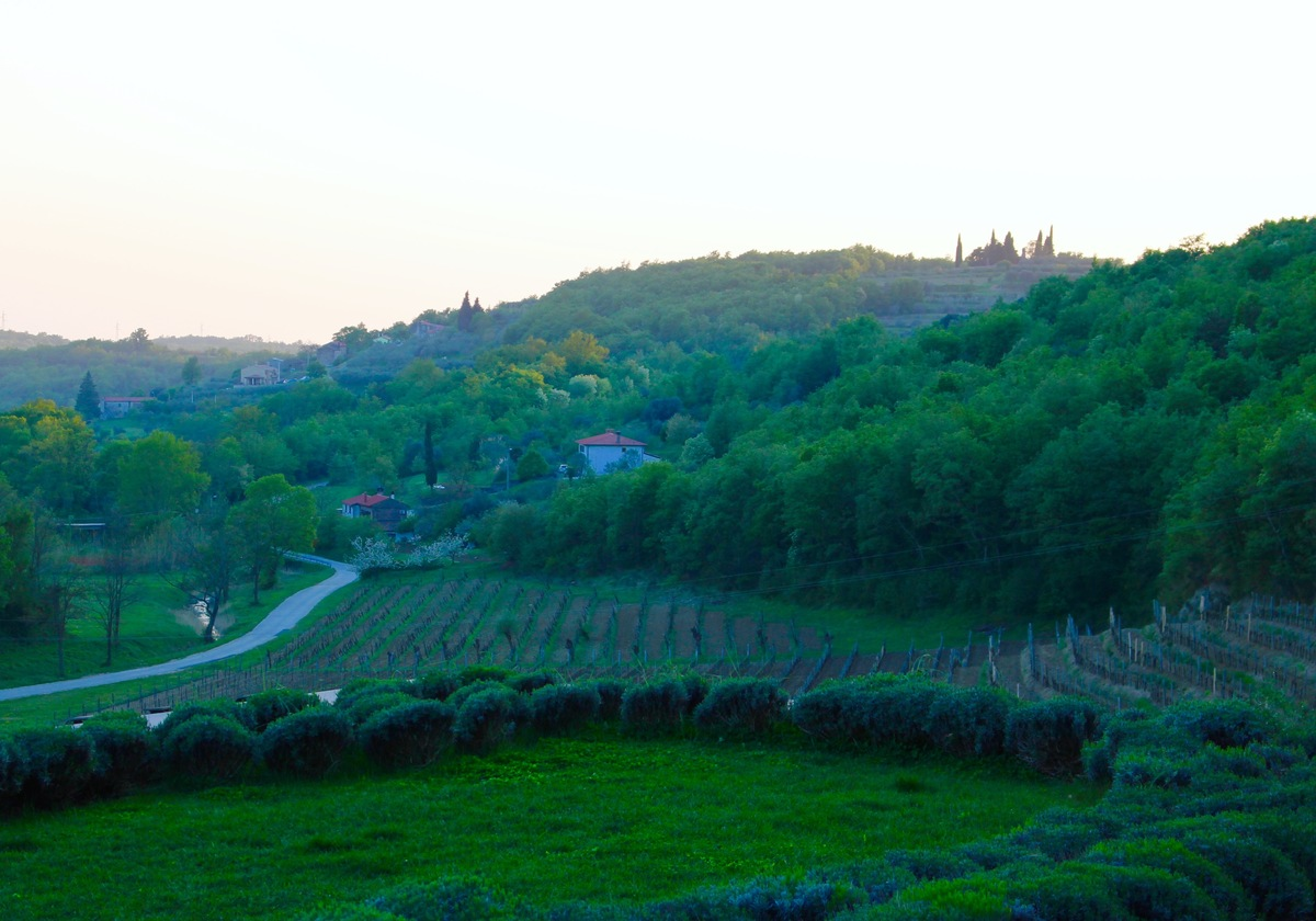 Momjan Kozlovic Vineyards Istria