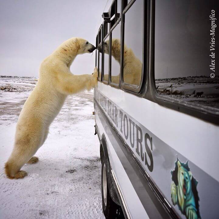 Canada Polar Bear Tours