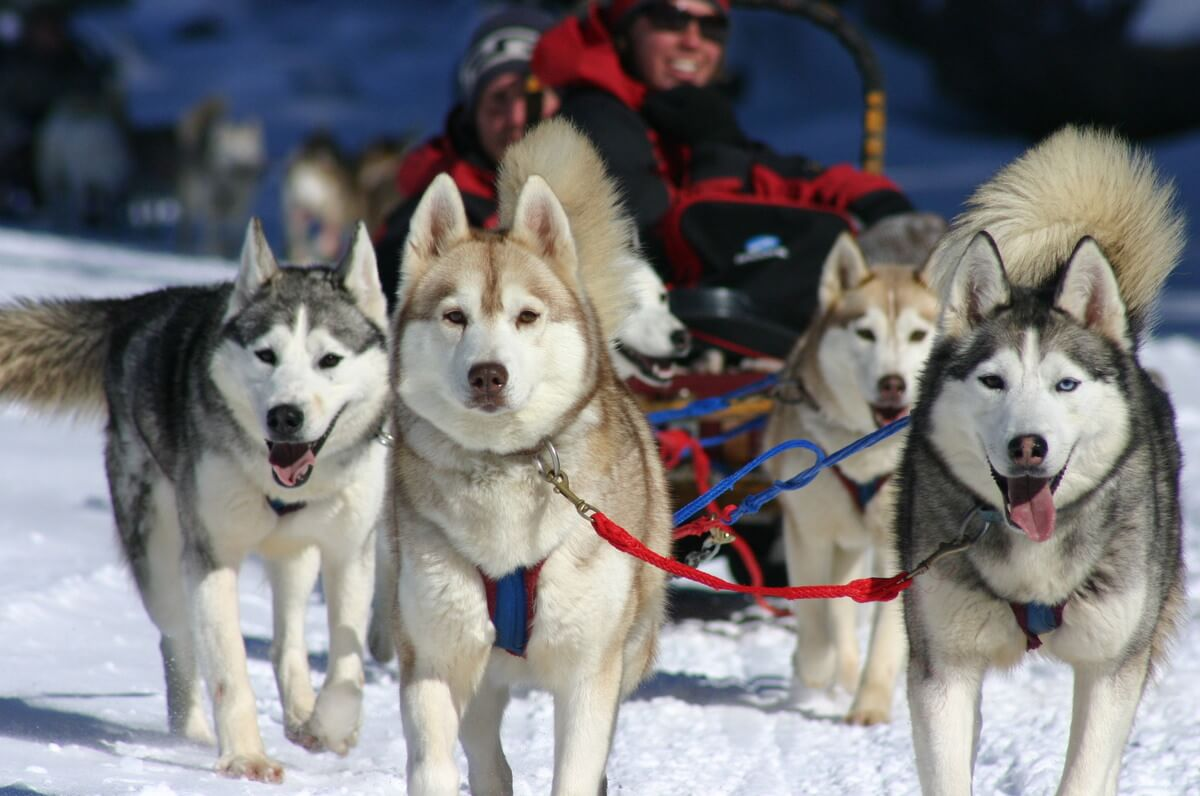 Canada dog sledding