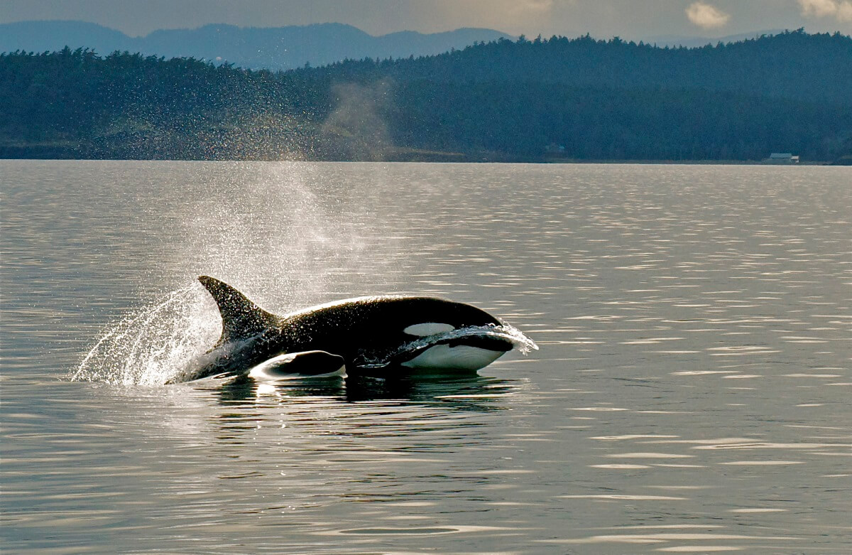 Orca watching San Juan Islands