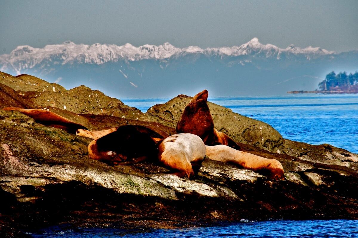 Sea Lions San Juan Islands