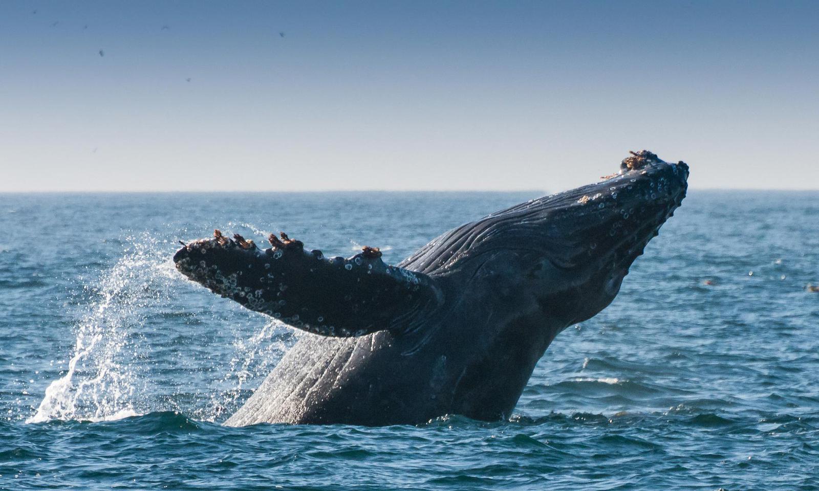 Baleia Baia de Monterey