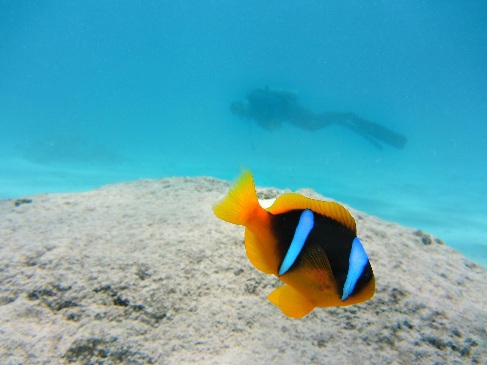 clown-fish-141696_1920