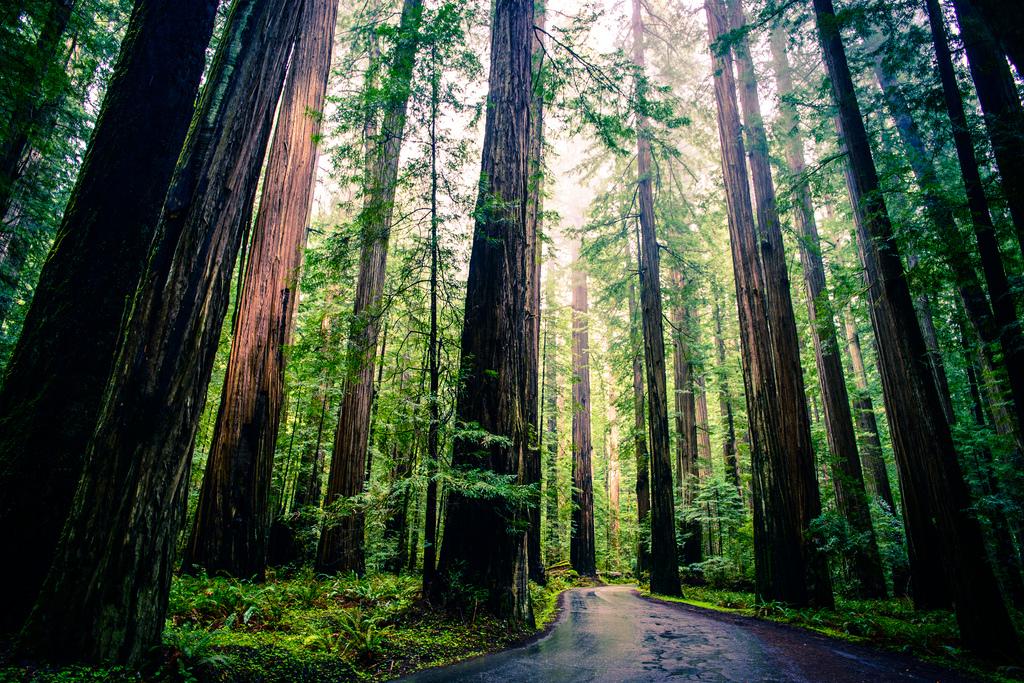 Le soleil se frayant un passage à travers la forêt de sequioa du Parc National de Redwood