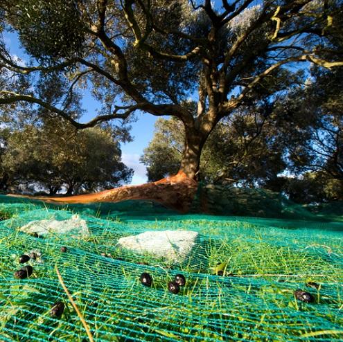 Récolte d'olives à Bonifacio
