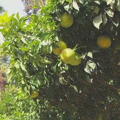 Citronnier dans les jardins de l'hôtel Es Saadi