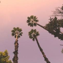 Palmiers à  l'hôtel Es Saadi