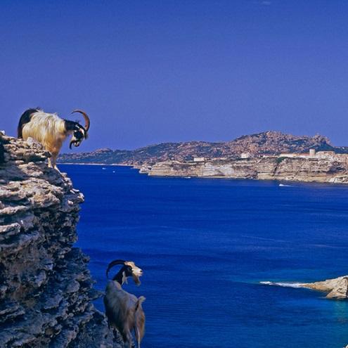 Chèvres à flan de falaise avec vue sur la mer à Bonifacio