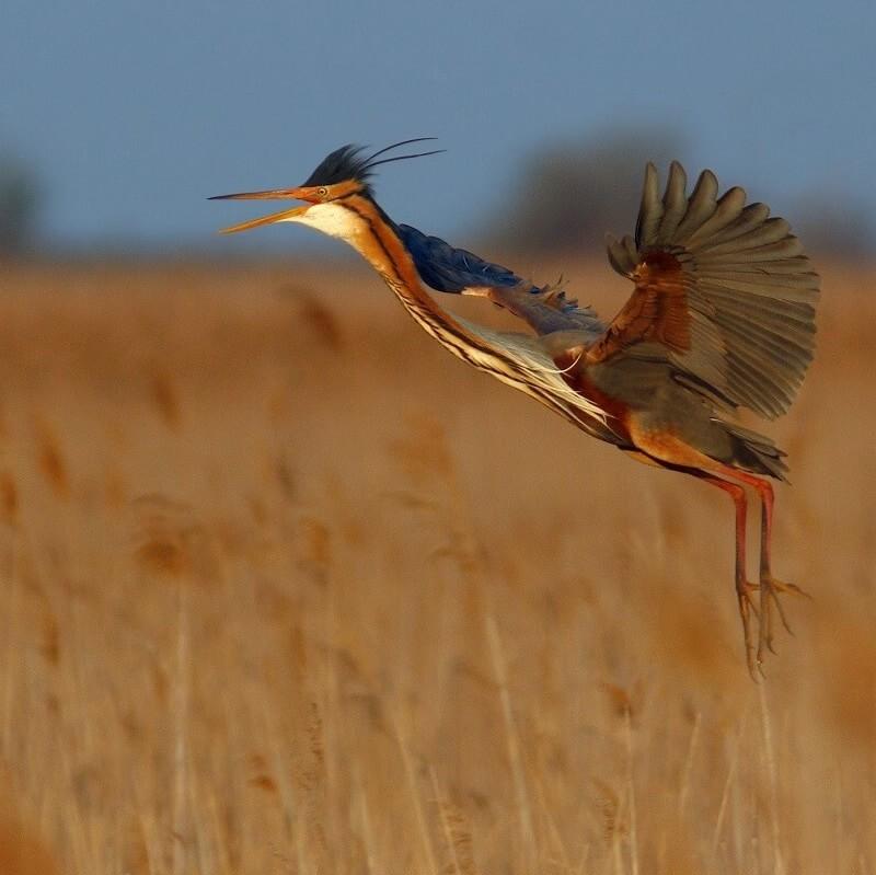 oiseau pourpre - Camargue