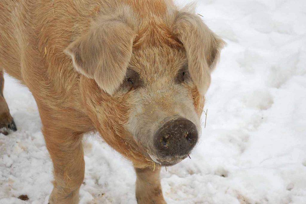 Woodstock Farm pig