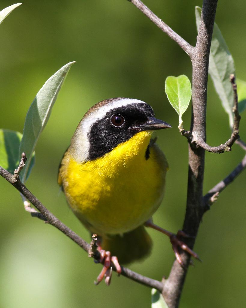 Yellow bird at Botanical Garden in Athens
