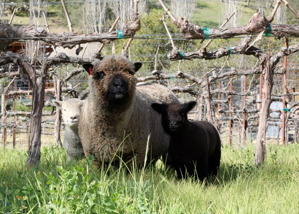 Calistoga Ranch Sheep