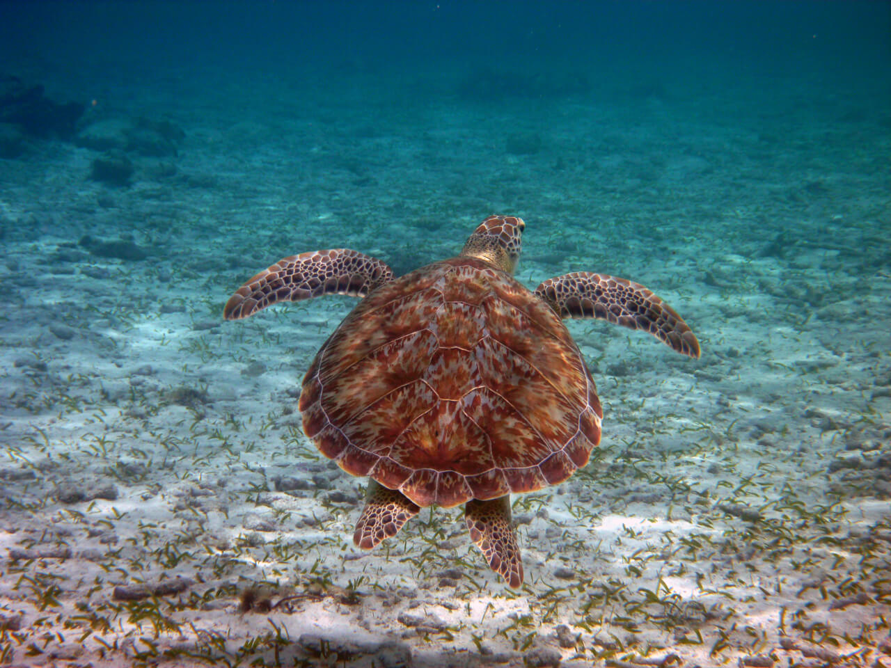 BelizeBarrierReef-turtle