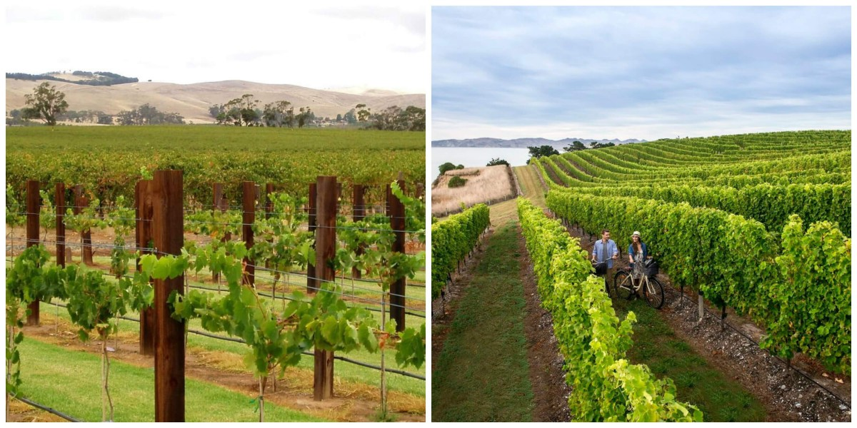 Australia vs. New Zealand: wine regions