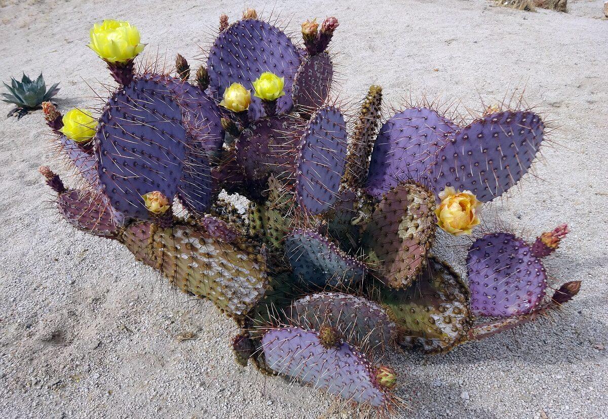 Cactus Zona Silencio Durango