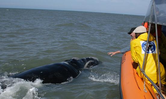 Baleias-francas em praia de Imbituba, Santa Catarina