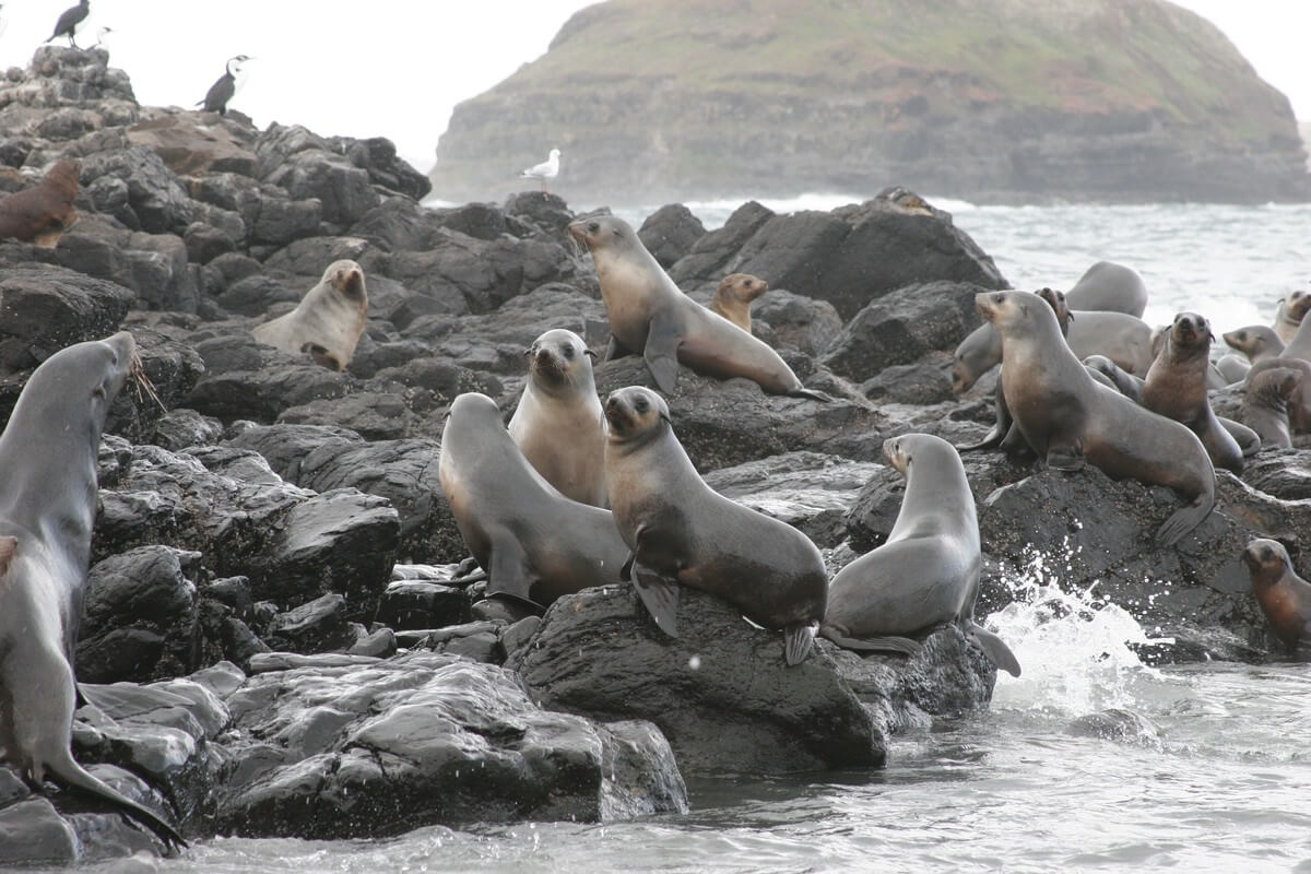 Seal Colon, Philip Island