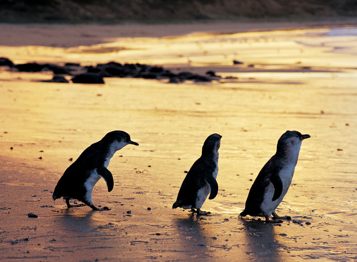 Penguin Parade, Phillip Island