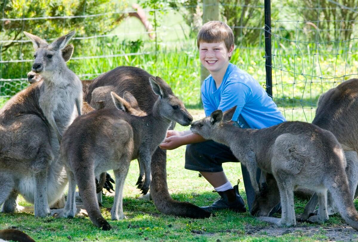 kangaroo, Maru Park, Phillip Island