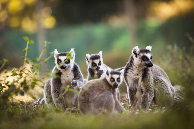 Lémuriens de Madagascar au Zoo de Labenne