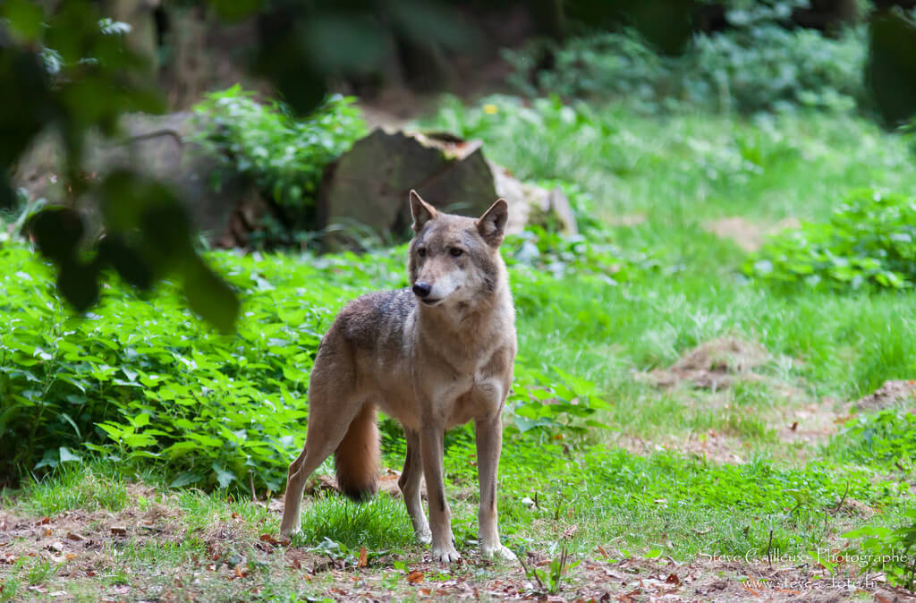 Loup- Zoo de Thoiry - Yvelines