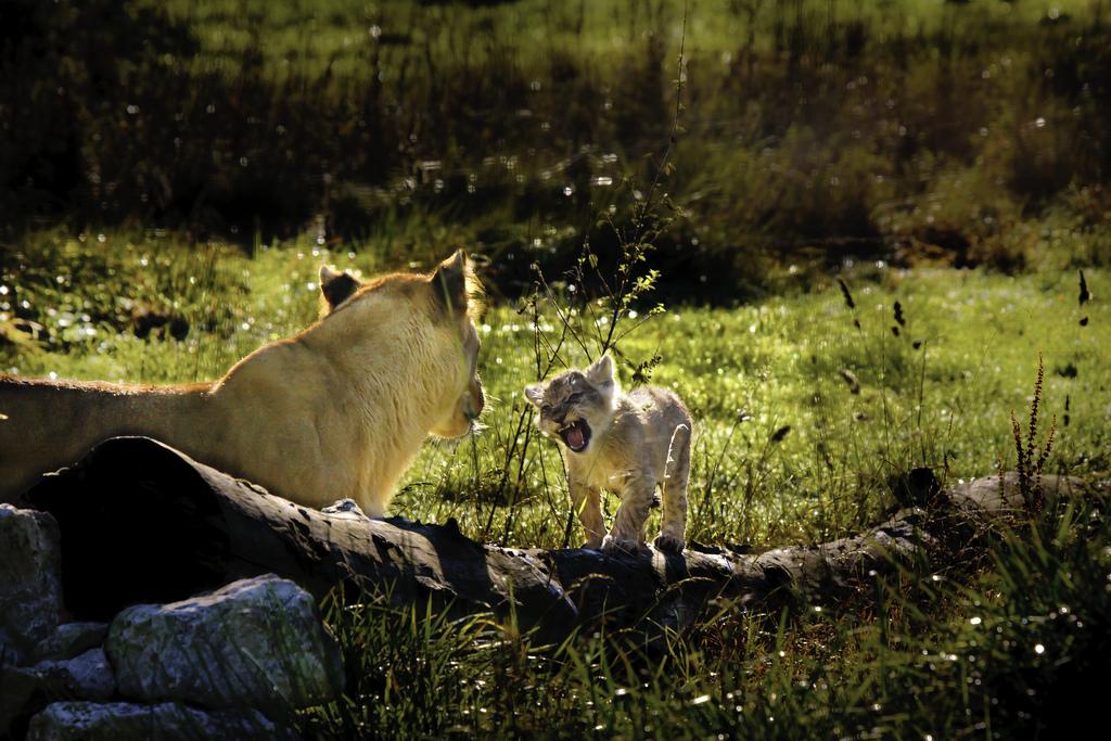 Lions - Parc animalier Parc des Félins - Seine et Marne
