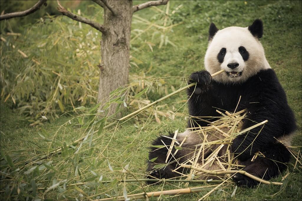 Panda - Zoo de Beauval - Saint Aignan