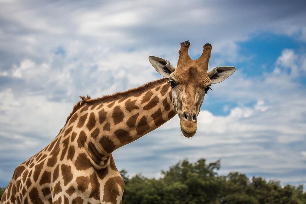 Girafe - Zoo de la Barben - Près d'Aix en Provence