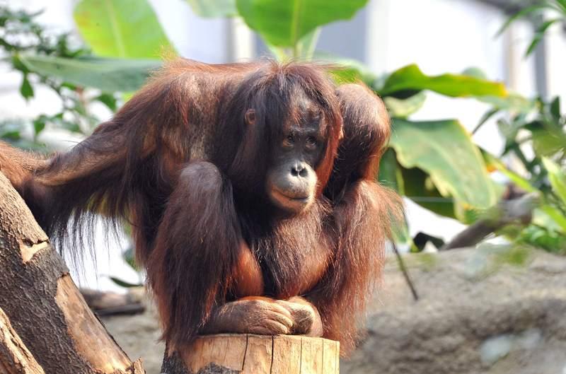 Orang-Utan im Darwineum im Zoo Rostock