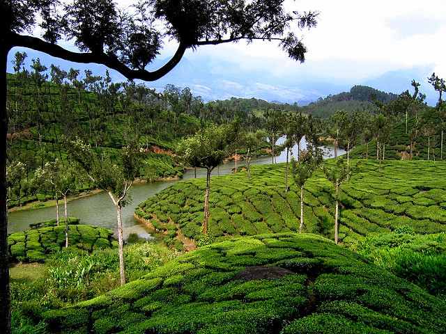 Teeanbau in Munnar