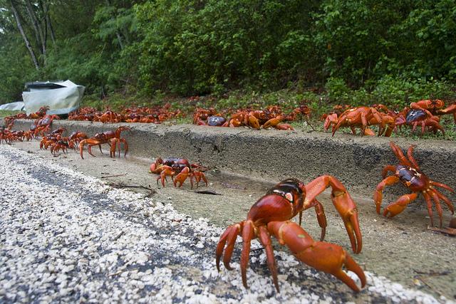 Weihnachtsinsel mit der roten Krabbenwanderung