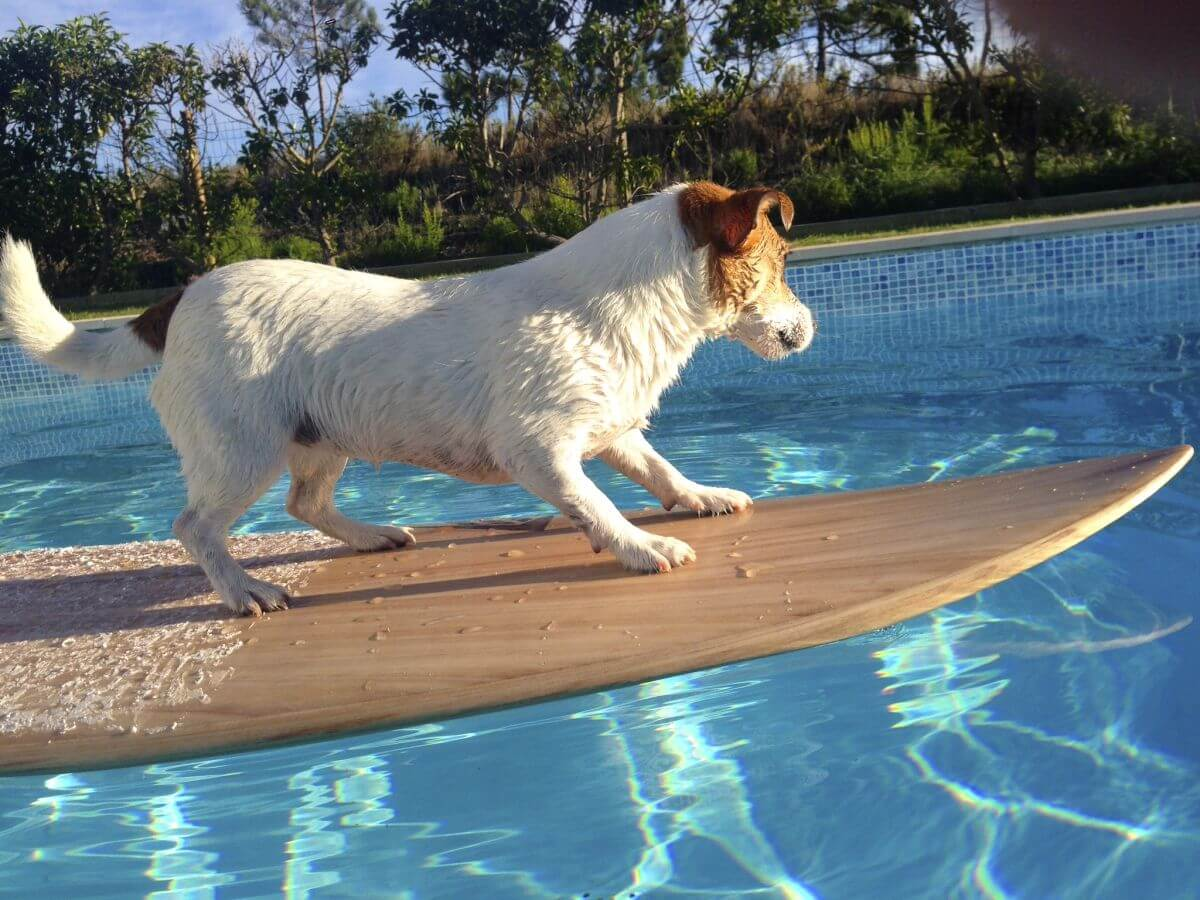 Hündin Pixie von LesWauz auf einem Surfbrett