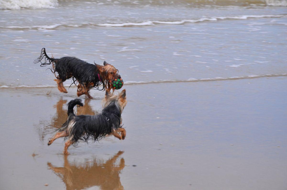 Die Yorkshire Terrier Amy und Kimi am Strand