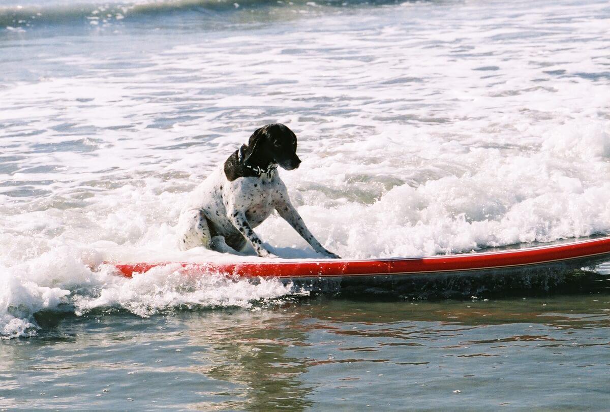 Hund auf Surfbrett